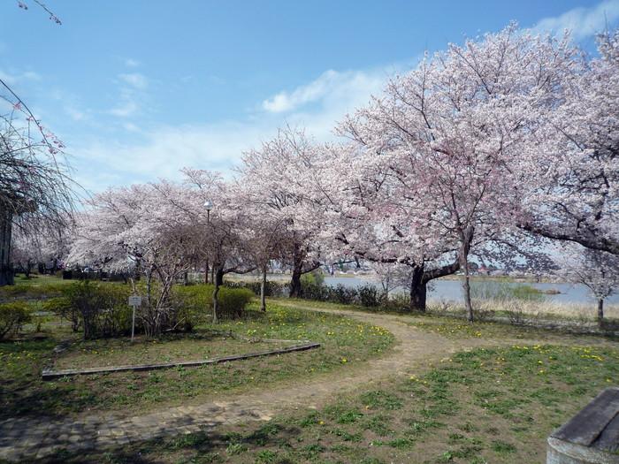 館林の城沼周辺のさくらは満開。とニュウナイスズメ_f0239515_2154861.jpg