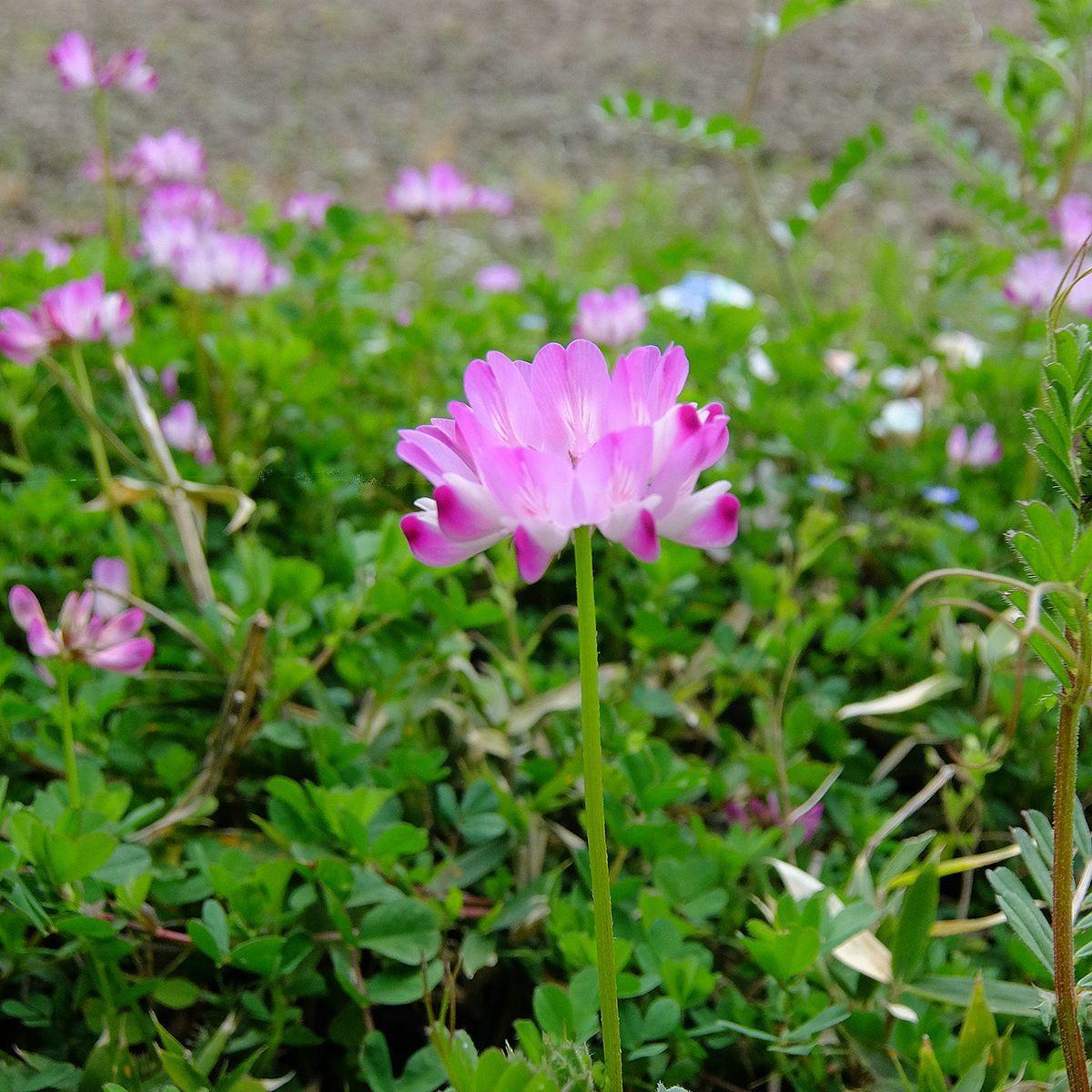 れんげの花が満開だ_c0042324_12511522.jpg