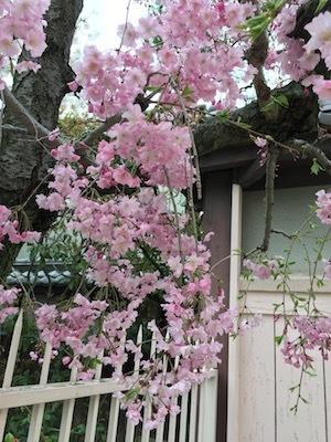 桜満開の入学式を通って_e0359436_16404246.jpg
