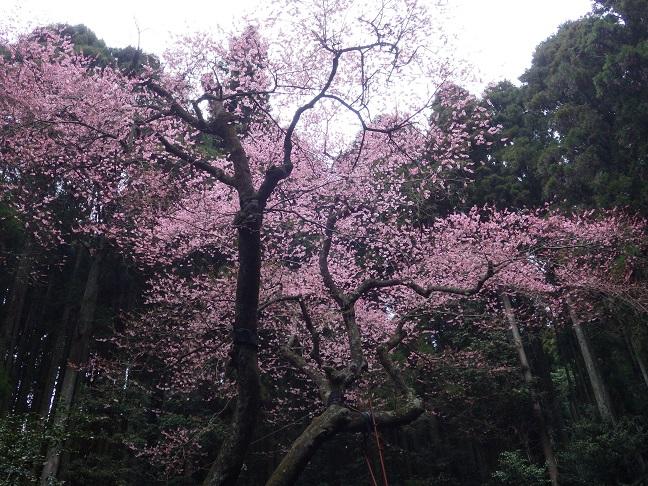 桜巡り・・虎尾桜、添田公園_e0164643_10203297.jpg