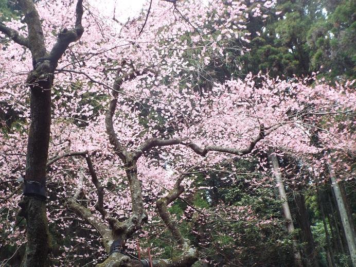 桜巡り・・虎尾桜、添田公園_e0164643_10301955.jpg