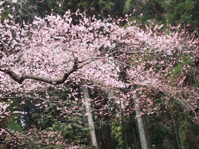 桜巡り・・虎尾桜、添田公園_e0164643_10315433.jpg