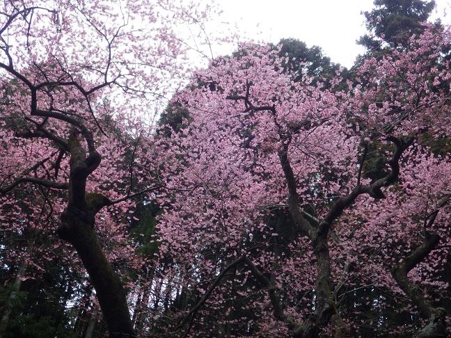 桜巡り・・虎尾桜、添田公園_e0164643_1032136.jpg
