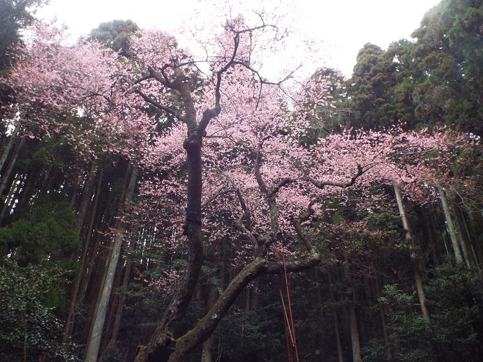 桜巡り・・虎尾桜、添田公園_e0164643_10555754.jpg