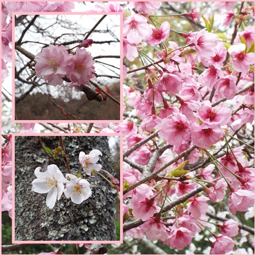 桜巡り・・虎尾桜、添田公園_e0164643_11247.jpg