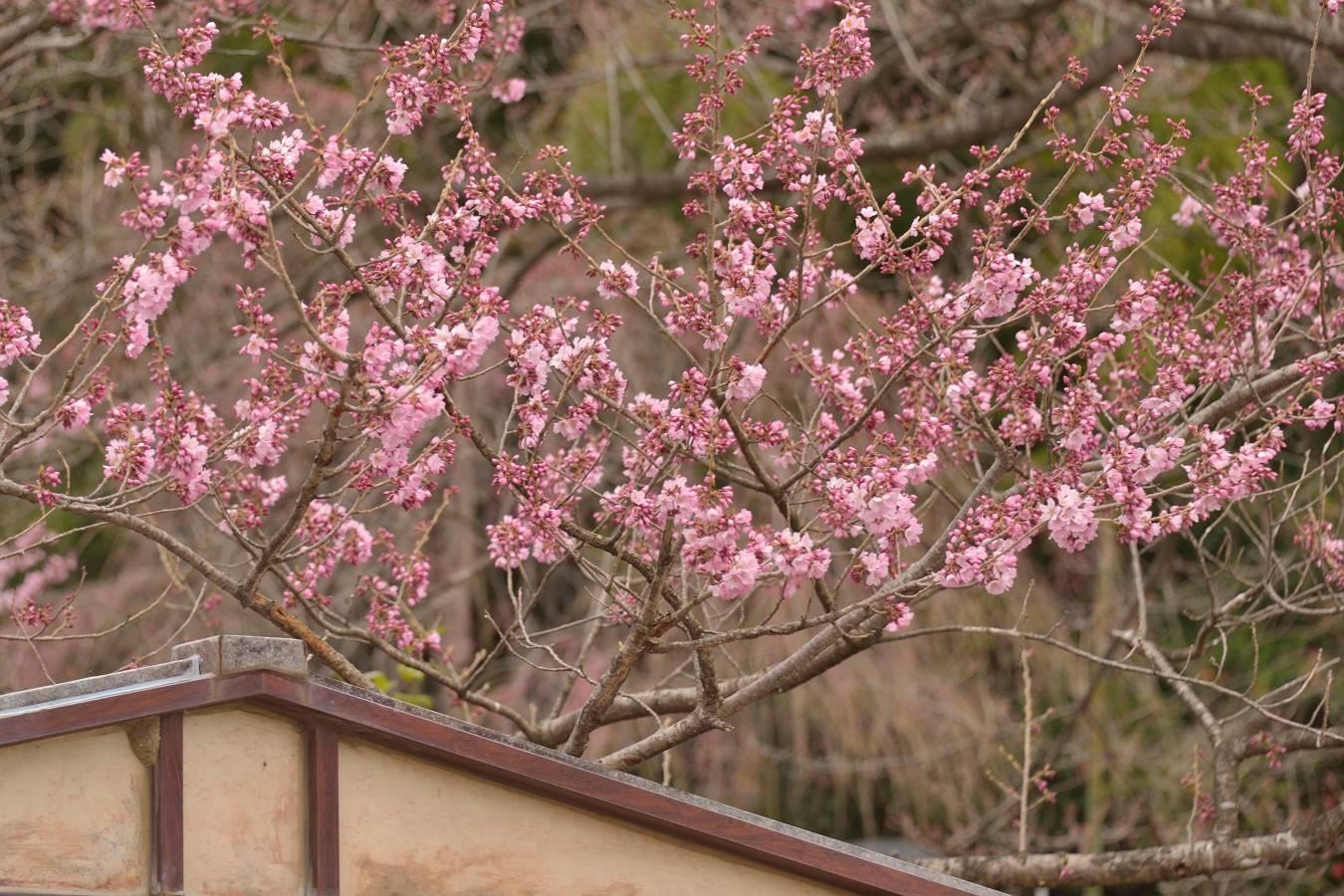 咲きました 4/6日撮影_b0223668_8233257.jpg