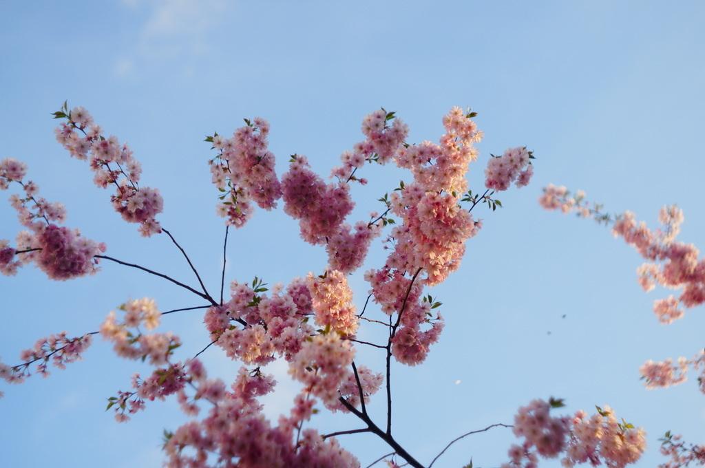 桜並木三日目だった日曜日。_c0180686_22581178.jpg