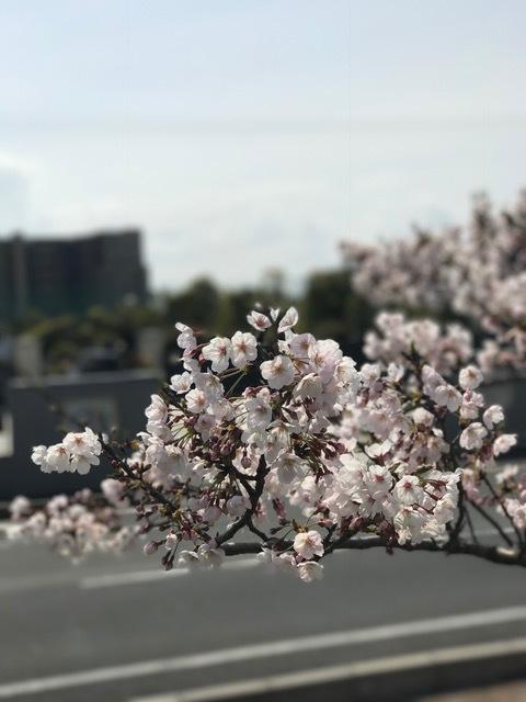 桜の季節です_b0263390_12355452.jpg