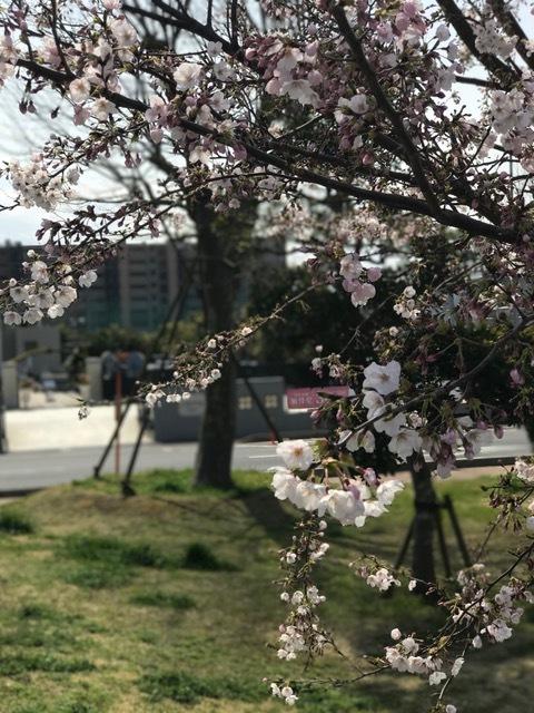 桜の季節です_b0263390_12361977.jpg