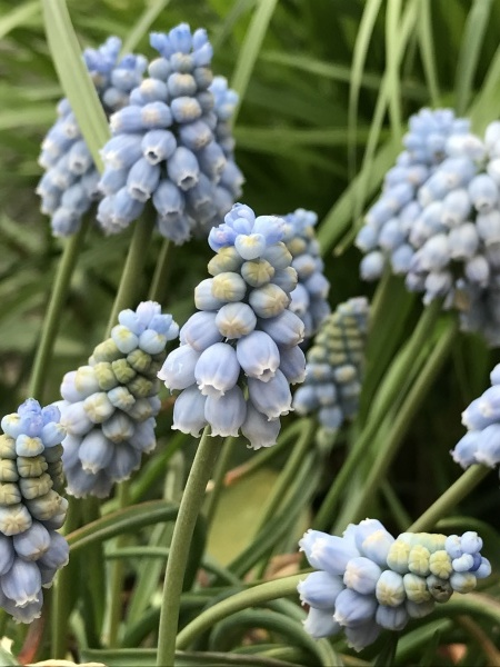 春に咲く球根 来年の花のために_e0232798_06211393.jpg