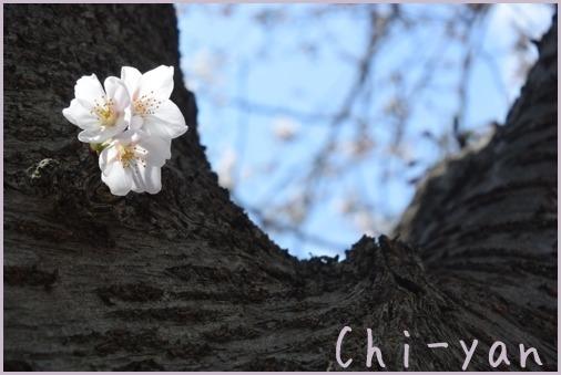 桜前線(自然教育園 → 目黒川)_e0219011_09323847.jpg