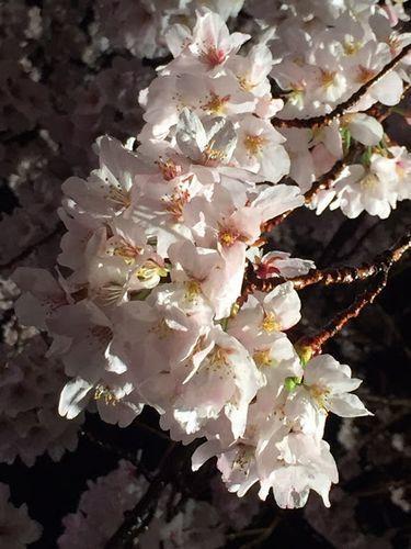 桜満開の日のボランティア★_f0223914_21500709.jpg