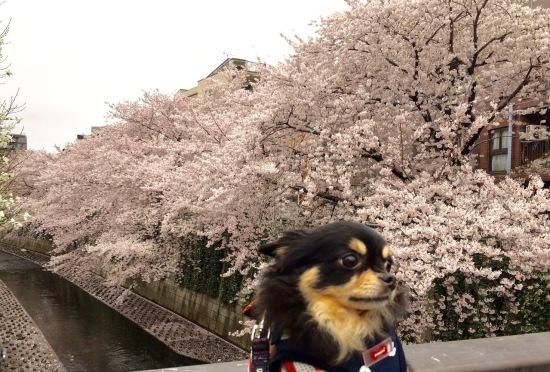都会の桜_f0197215_21192289.jpg