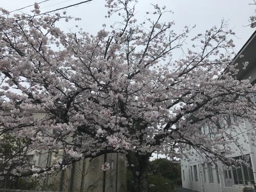 満開の桜。_b0028732_21484689.jpg