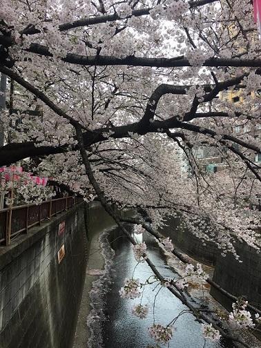 満開の桜_c0151934_12045377.jpg