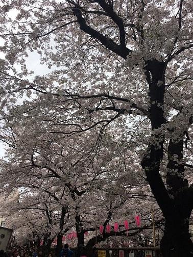 満開の桜_c0151934_12060597.jpg