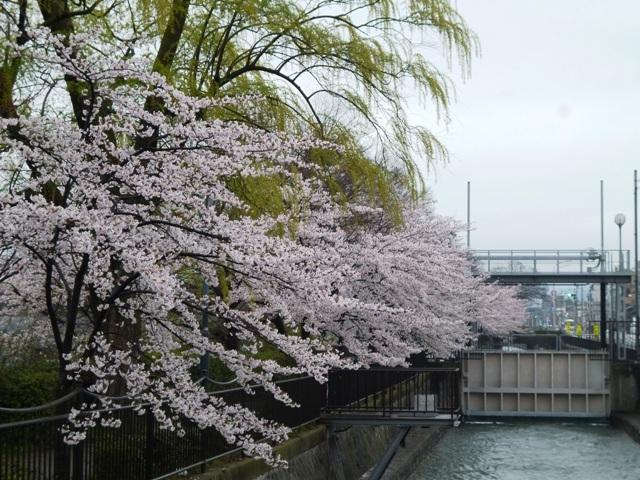 イケズな桜_e0230141_09461837.jpg