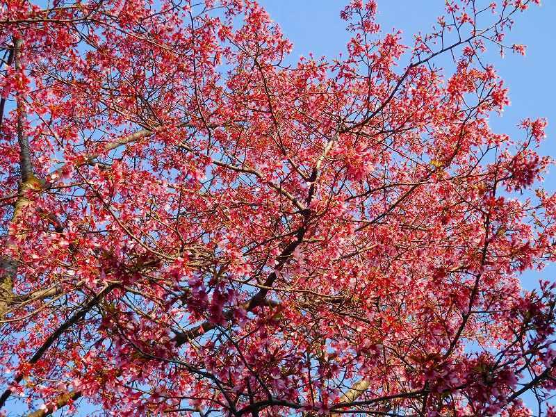 鴨川沿いの桜20170404_e0237645_23472179.jpg