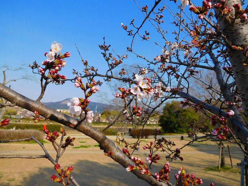 鴨川沿いの桜20170404_e0237645_23473186.jpg