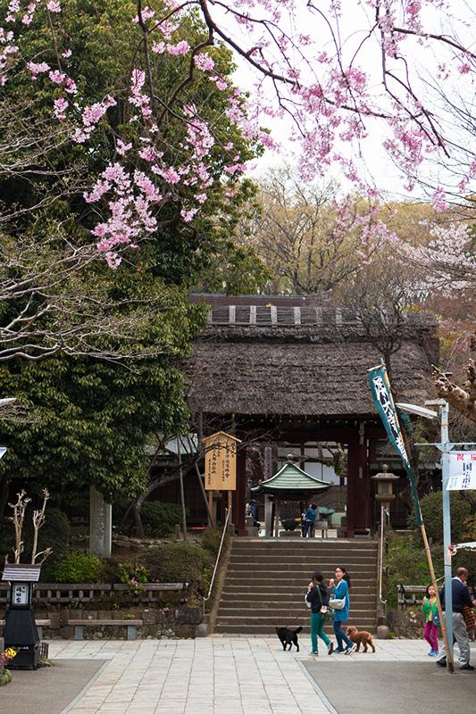 調布・深大寺の桜(ちょっと)_a0003650_2244546.jpg