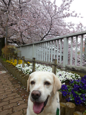 with dog  思い出の桜の前で♪_a0165160_18565169.jpg