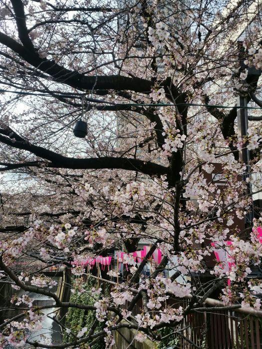 桜コレクション_a0272765_17425285.jpg