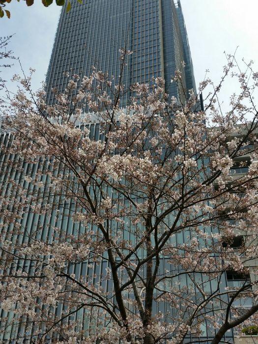 桜コレクション_a0272765_17430339.jpg