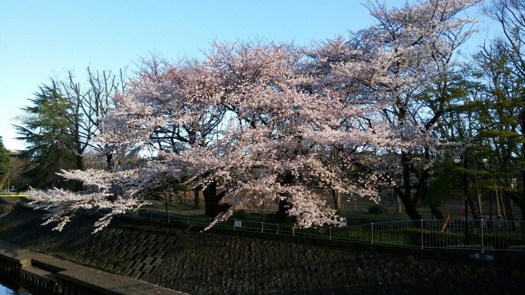 和田堀公園のサクラが満開になりました_e0232277_10014107.jpg