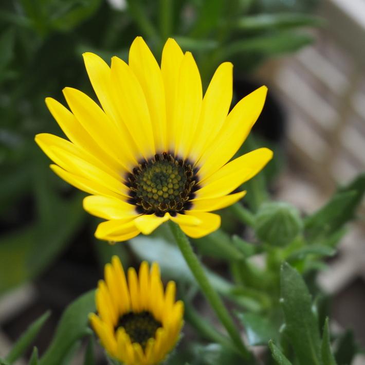 黄色のオステオスペルマム_a0292194_2242650.jpg