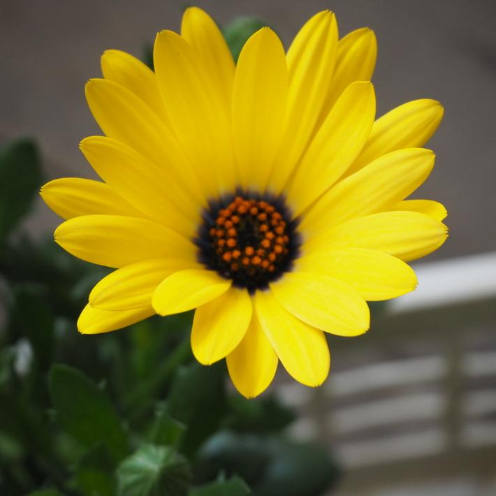 黄色のオステオスペルマム_a0292194_2244747.jpg