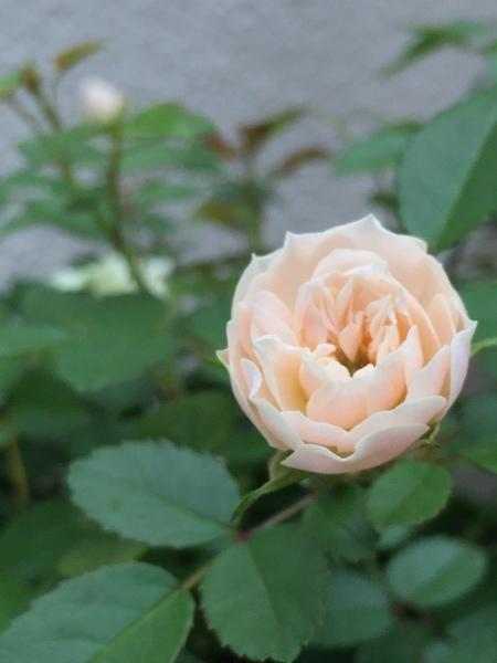 バラを虫たちから守ろう!_e0232798_07444296.jpg