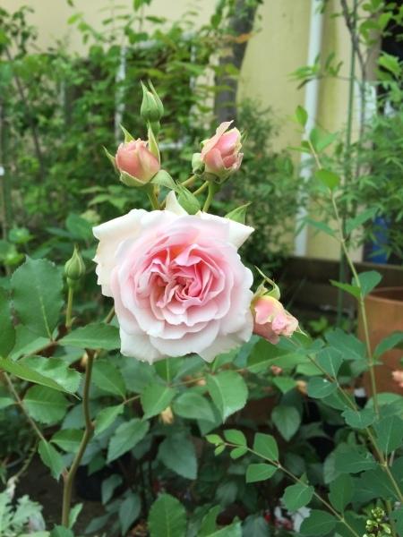 バラを虫たちから守ろう!_e0232798_07455641.jpg