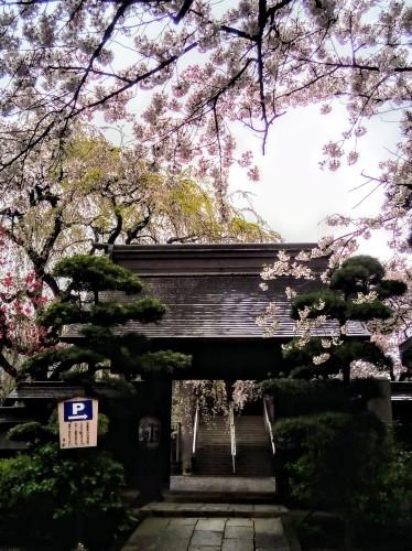 桜_a0057402_15313885.jpg