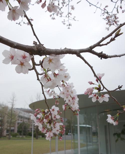 やっと咲き始めたJテラスの桜に寄せて