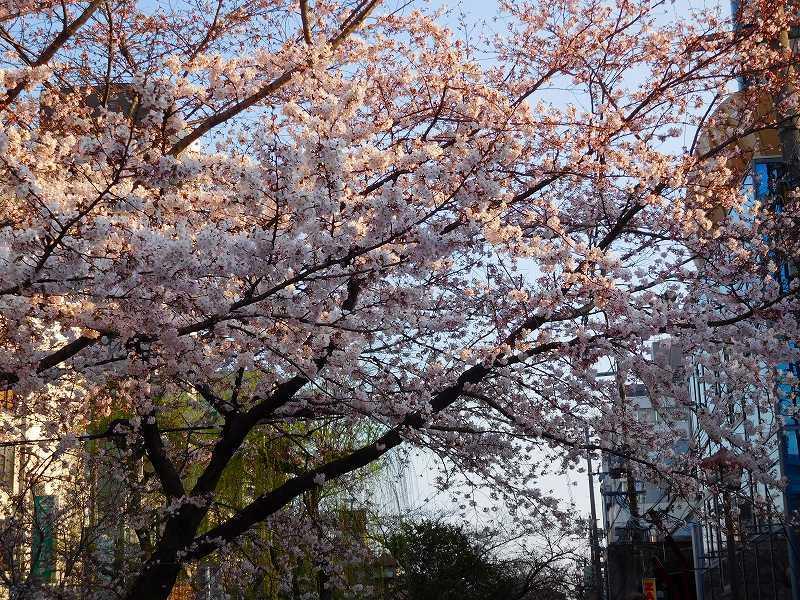 京都高瀬川(木屋町通)の桜並木20170404_e0237645_20573803.jpg