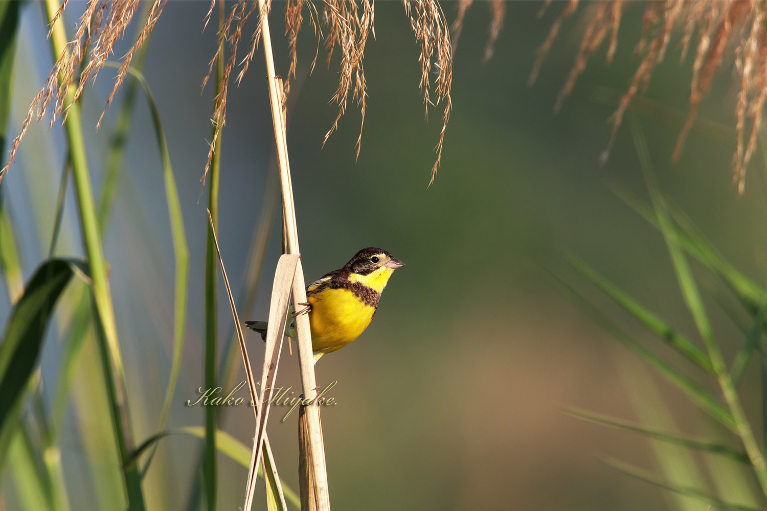 シマアオジ Yellow-breasteed Bunting _d0013455_19325057.jpg