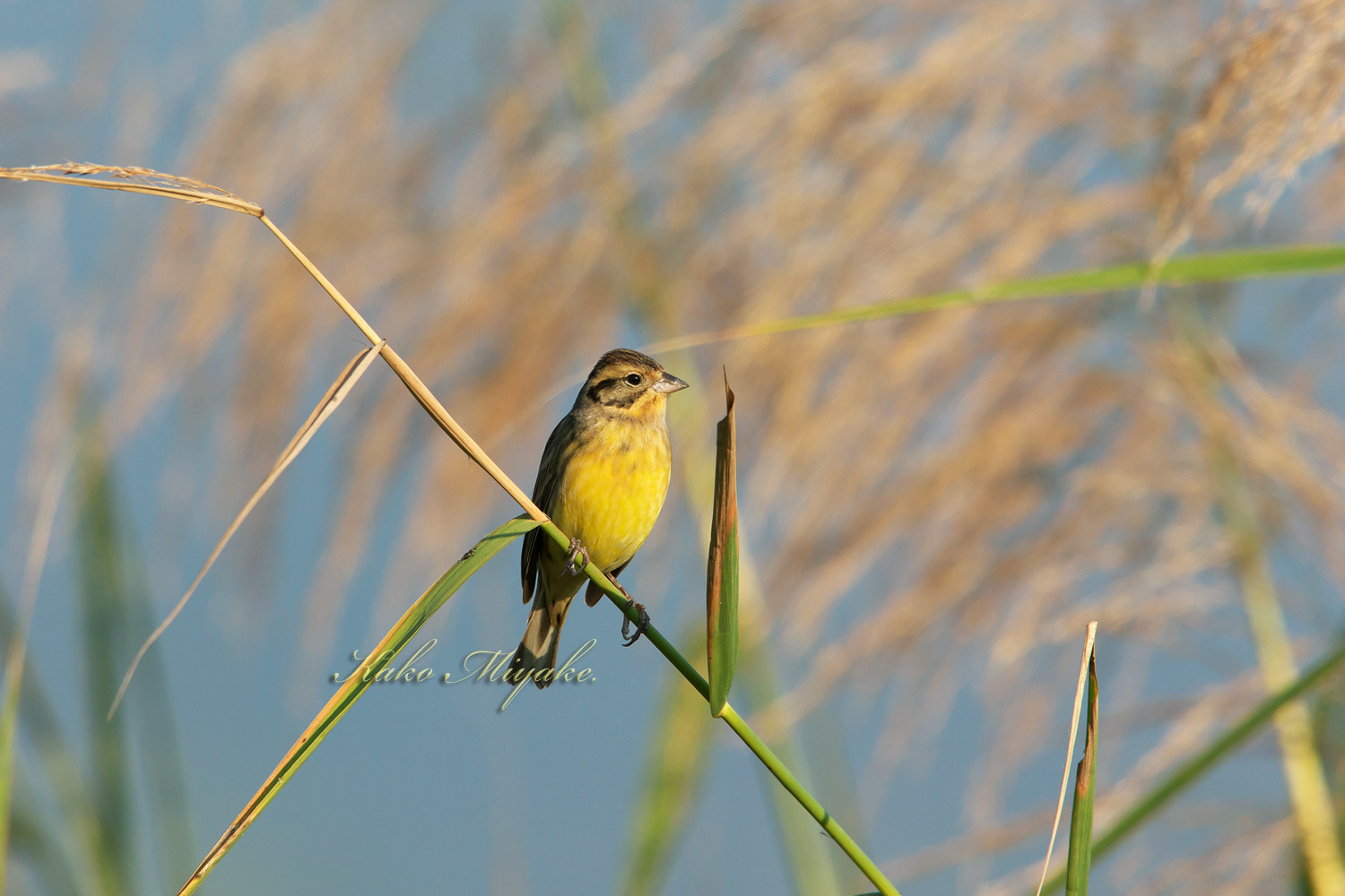 シマアオジ Yellow-breasteed Bunting _d0013455_19325079.jpg