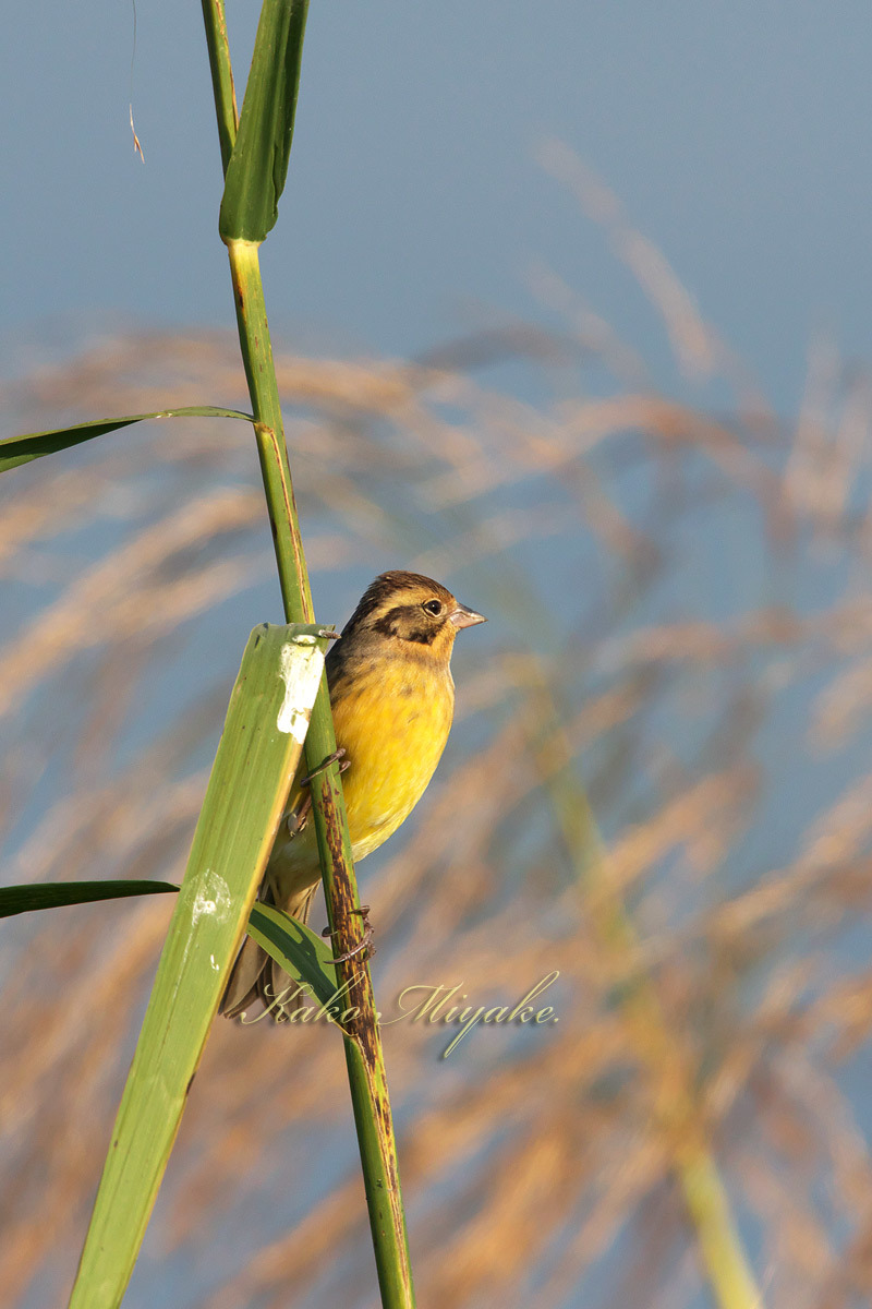 シマアオジ Yellow-breasteed Bunting _d0013455_19325113.jpg