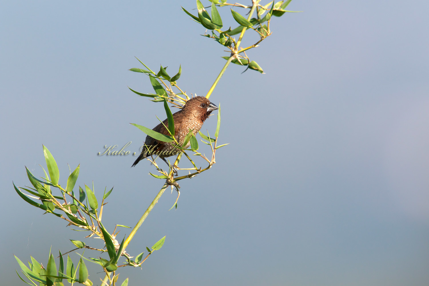 シマキンパラ Scary-breasted munia_d0013455_19385790.jpg