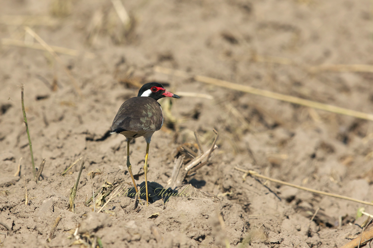 インドトサカゲリ Red-Wattled Lapwing_d0013455_19553699.jpg