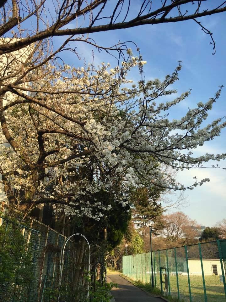 2017年4月2w 満開の櫻の下で「雑草除去」_a0094959_22354518.jpg