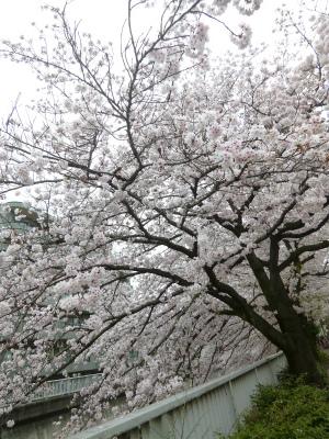 with dog  思い出の桜の前で♪_a0165160_06540209.jpg