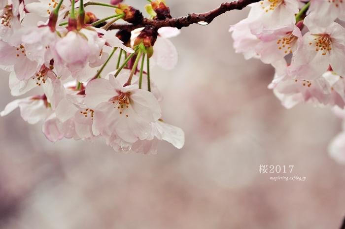 桜2017-雨-_f0234062_20424075.jpg