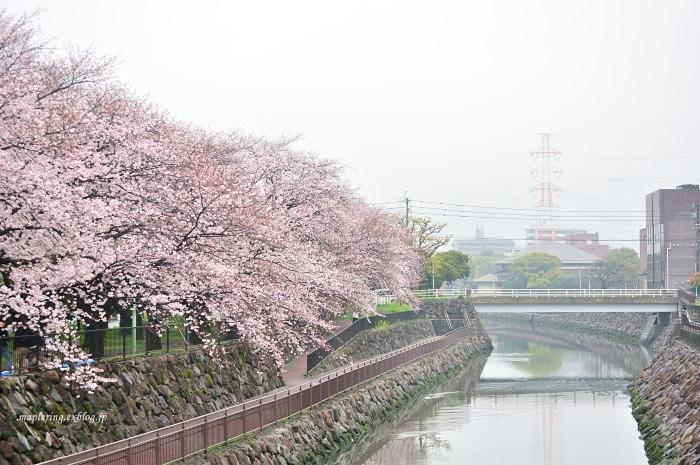 桜2017-雨-_f0234062_20431343.jpg