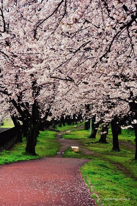 桜2017-雨-_f0234062_20471838.jpg