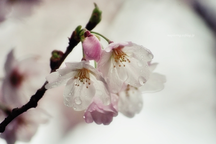 桜2017-雨-_f0234062_20485511.jpg