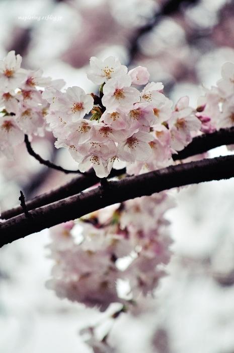 桜2017-雨-_f0234062_20490333.jpg