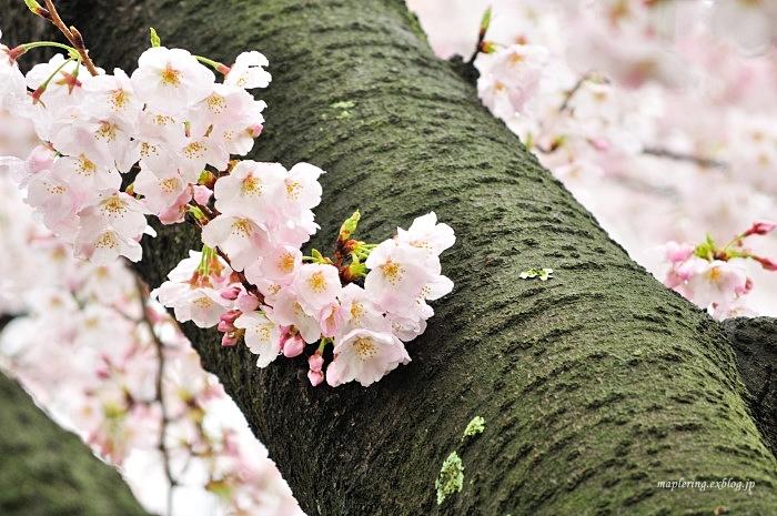 桜2017-雨-_f0234062_22100820.jpg