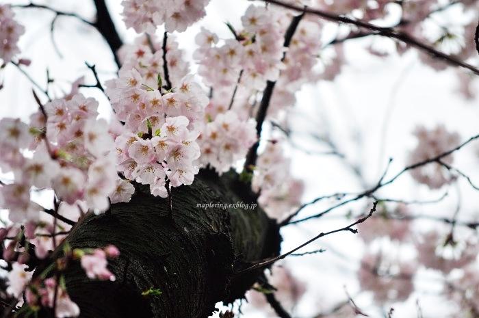 桜2017-雨-_f0234062_22102362.jpg