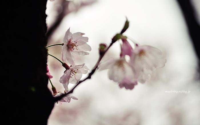 桜2017-雨-_f0234062_22105298.jpg